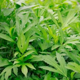 겹삼잎국화 모종 25주